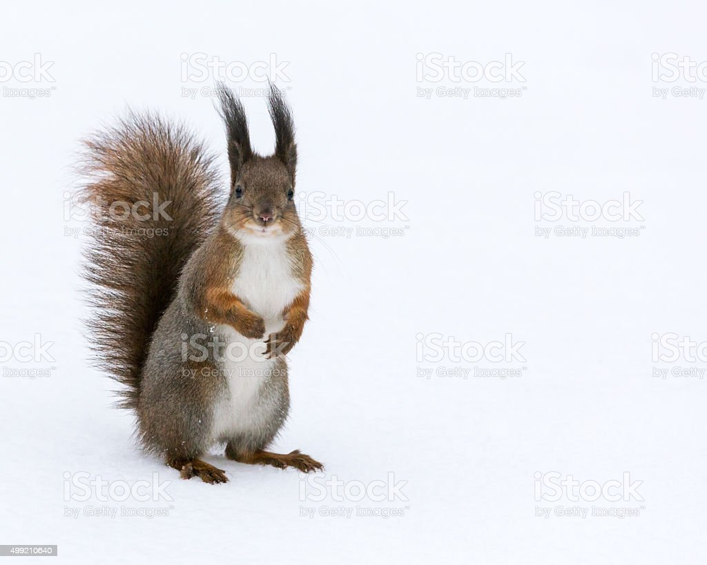 red squirrel posed on snow background stock photo
