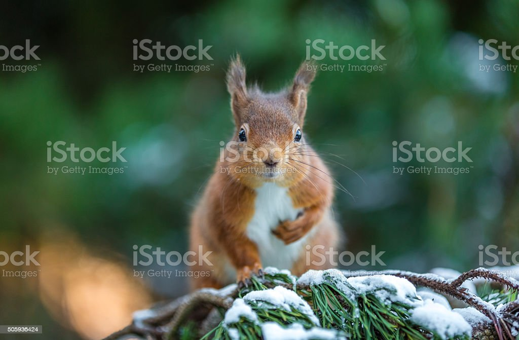 Red squirrel posing in pine tree stock photo