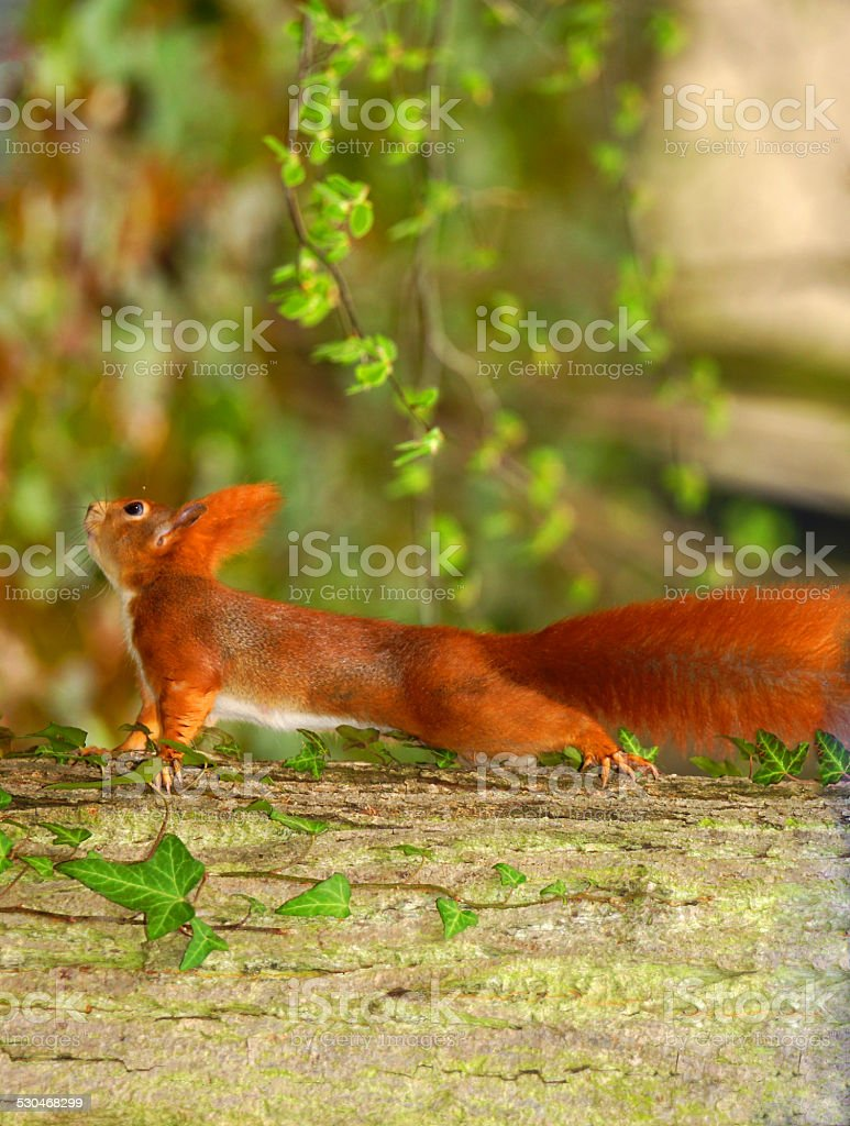 Red Squirrel runs over a tree stock photo