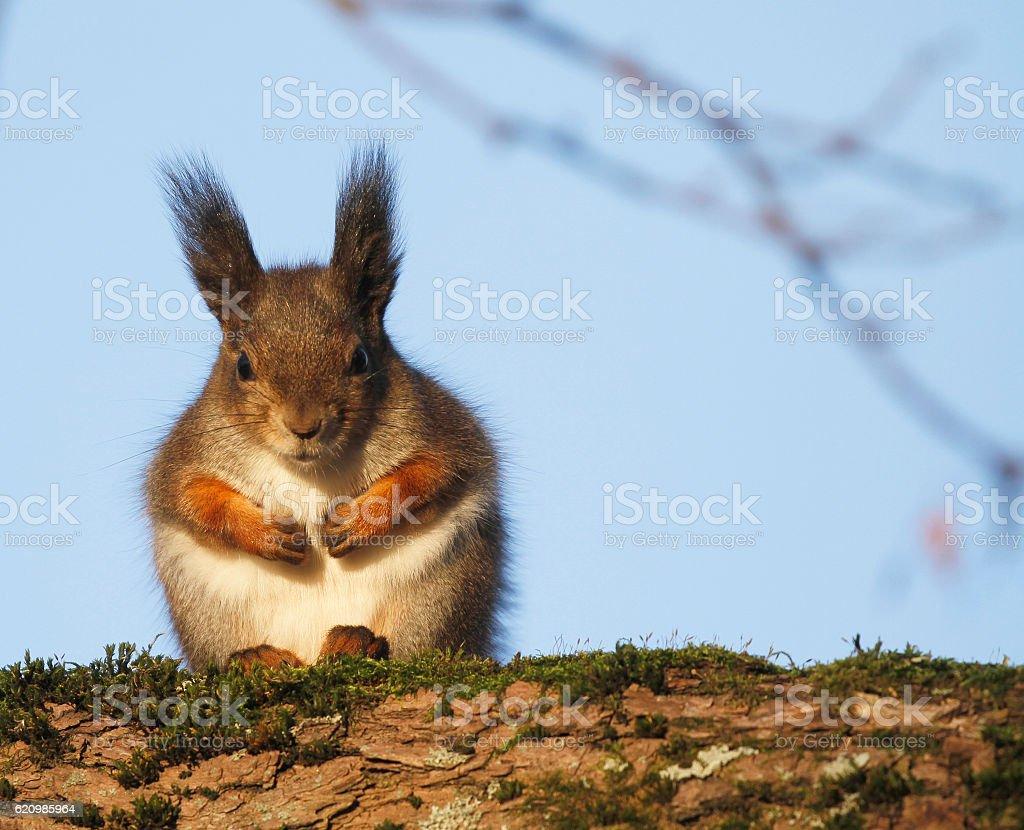 Red Squirrel Sciurus vulgaris foto royalty-free