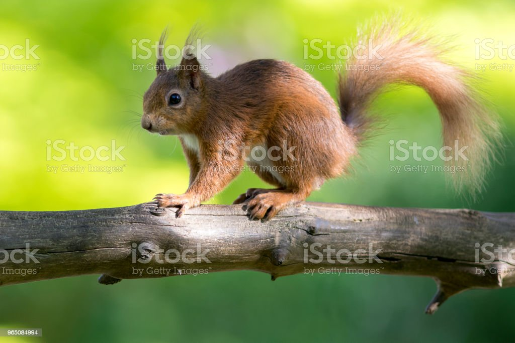 Red Squirrel (Sciurus vulgaris), Scotland zbiór zdjęć royalty-free