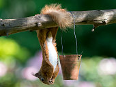 A Red Squirrel (Sciurus vulgaris) hanging upside down at a feeder in Scotland, UK