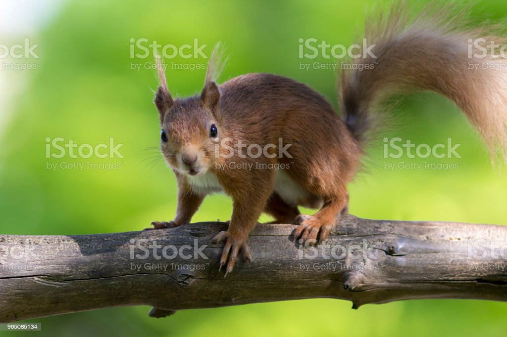 Red Squirrel (Sciurus vulgaris), Scotland royalty-free stock photo