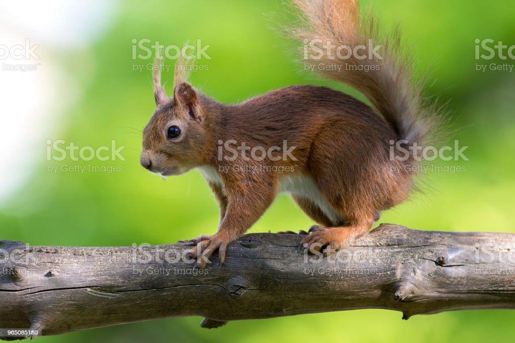 Red Squirrel (Sciurus vulgaris), Scotland zbiór zdjęć royalty-free