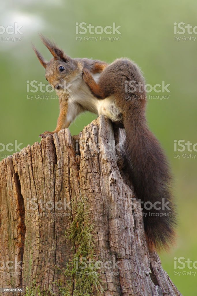 Red squirrel scratching itself stock photo