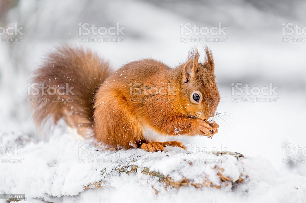 Red Squirrel searching for food stock photo