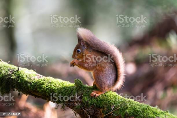Photo of Red squirrel sitting on a moss covered branch eating a hazelnut in Scottish woodland