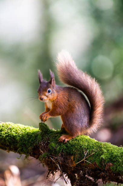 Red squirrel sitting on a moss covered branch holding a hazelnut in Scottish woodland stock photo