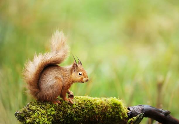 écureuil roux assis sur un journal de mousseux - écureui photos et images de collection