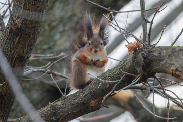Red squirrel sitting on a tree, forest squirrel (Sciurus vulgaris) stock photo