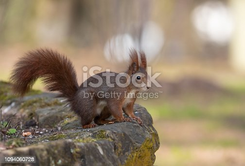 Red squirrel (Sciurus vulgaris) resting on a wall.