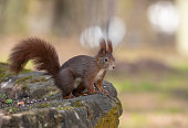 Red squirrel sitting on a wall