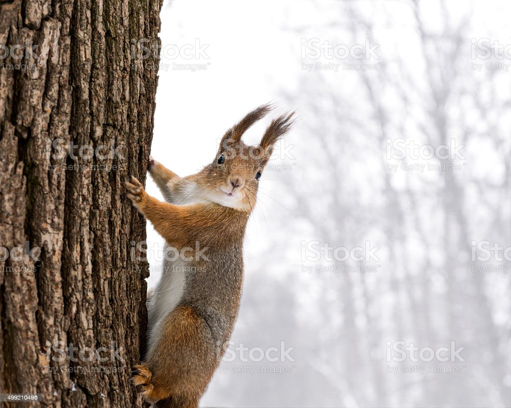 red squirrel sitting on the tree on snowfall stock photo