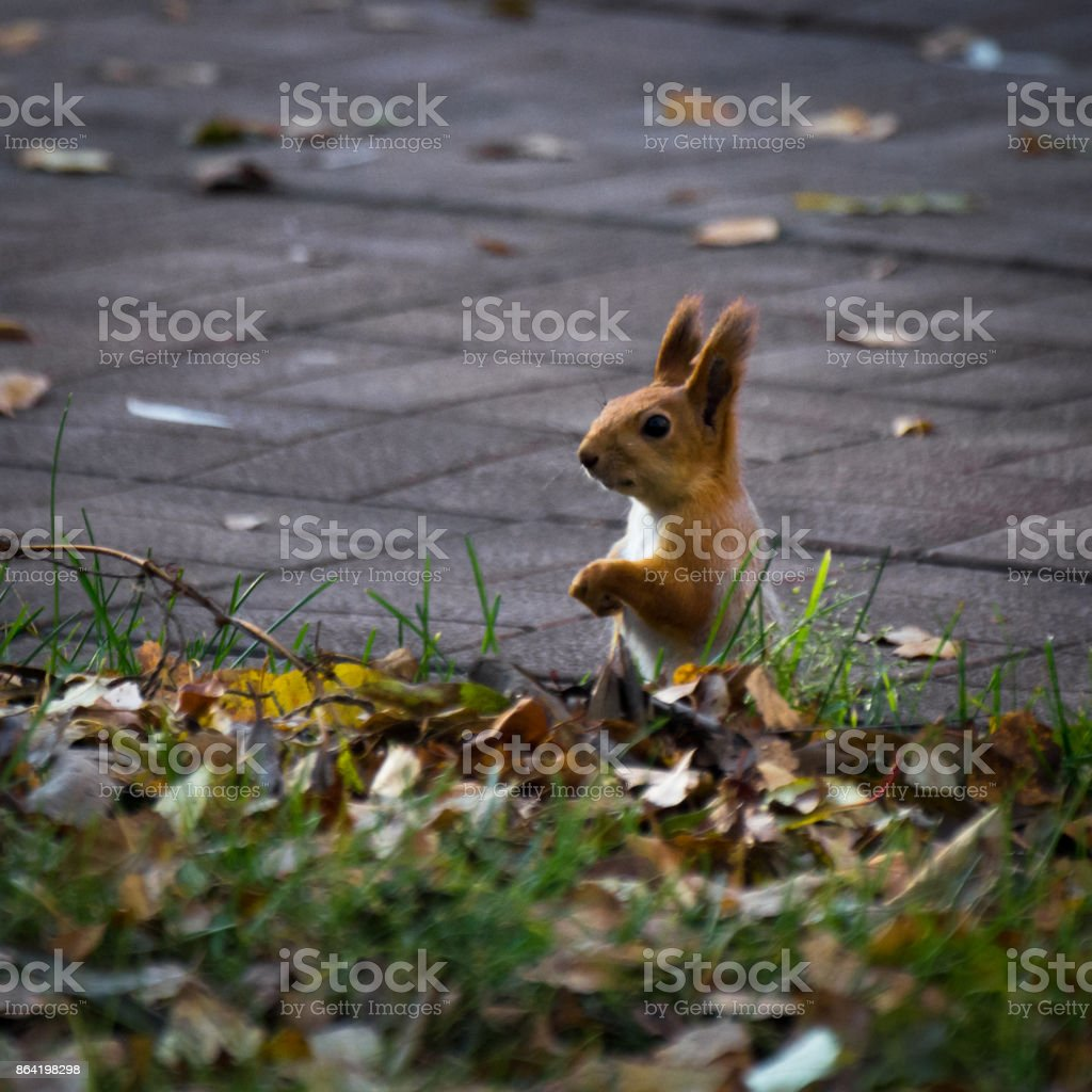 A red squirrel sitting on the walkway in the park in autumn royalty-free stock photo