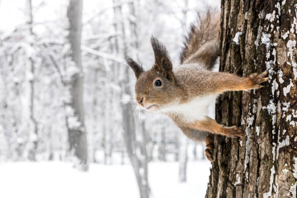 red squirrel sitting on tree trunk against blurred winter forest background stock photo