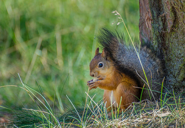 Red Squirrel stand still stock photo