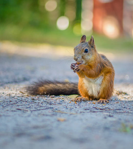 Red Squirrel standing eating nuts stock photo