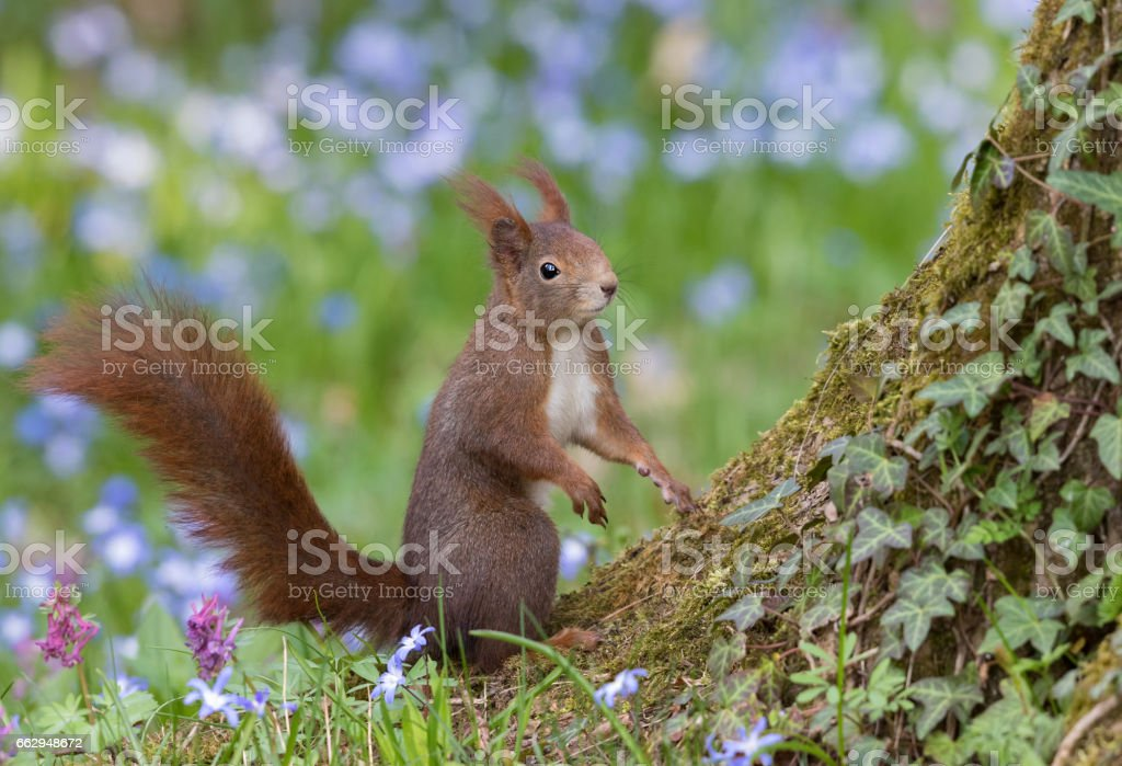Red squirrel standing in front of flowering scilla stock photo