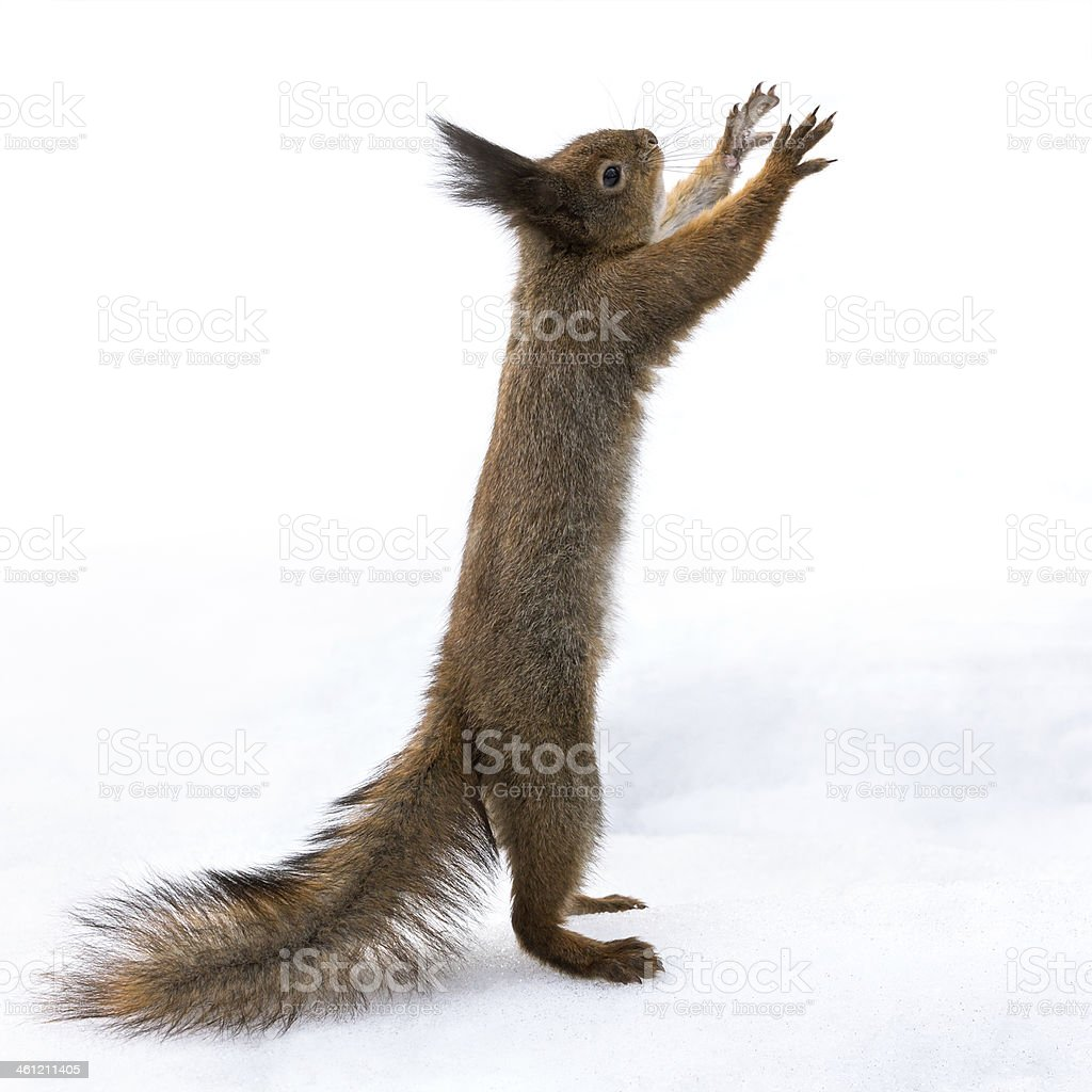 Red squirrel standing on snow stock photo