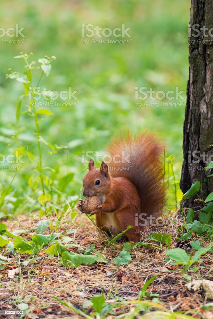 A red squirrel stands near a tree with a nut стоковое фото