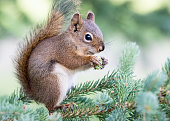 A Red Squirrel in a pine tree. Taken in Alberta, Canada
