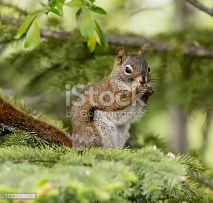 istock Red Squirrel  Stock Photo 1253698608