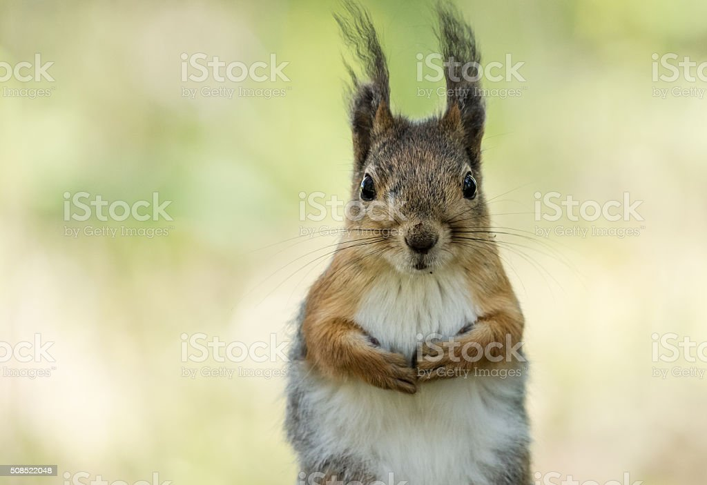 Red squirrel watching at you stock photo