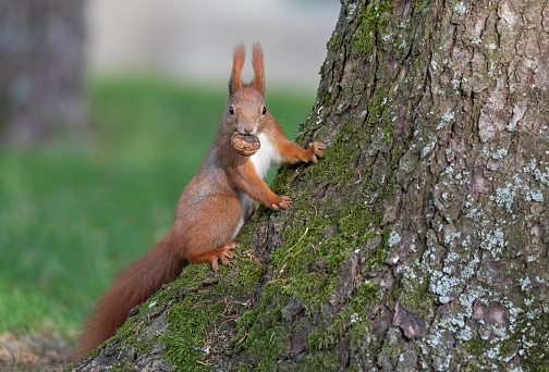 Eurasian red squirrel (Sciurus vulgaris) sitting on a spruce trunk with a walnut in its mouth.