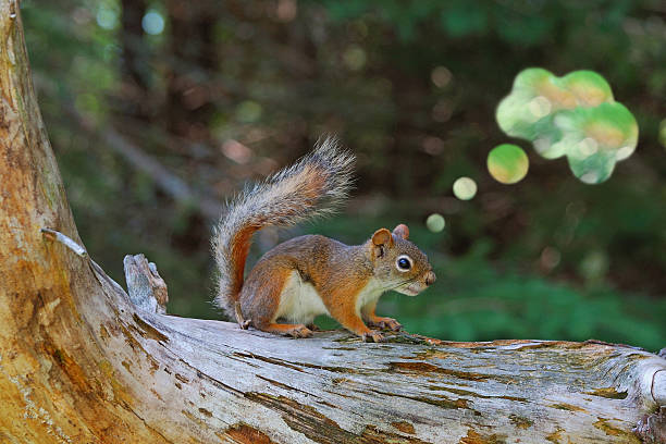Red Squirrel with Abstract Thought Bubble stock photo