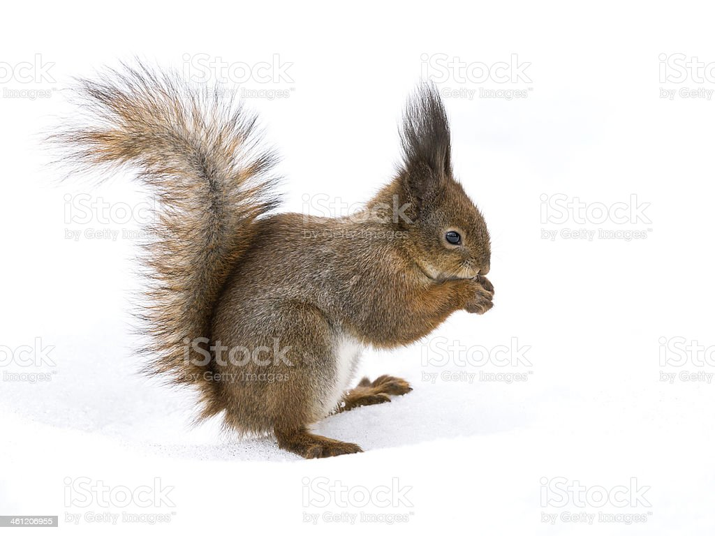 Red squirrel with nut stock photo