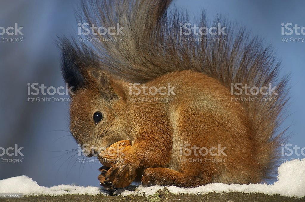 Red squirrel with nut shell royalty-free stock photo