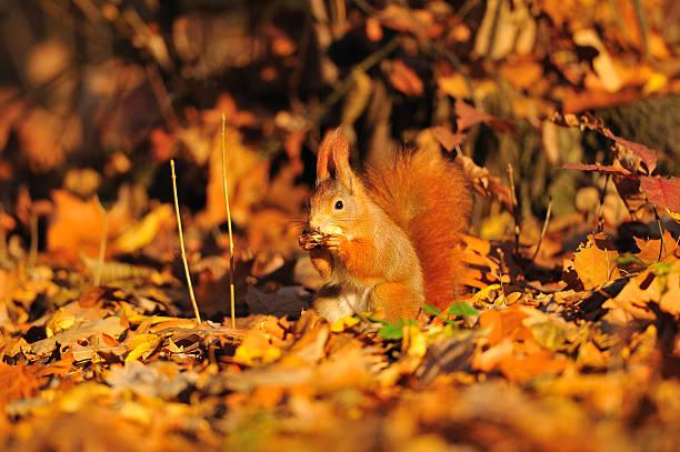Eichhörnchen mit Erdnuss auf der orange leafs – Foto