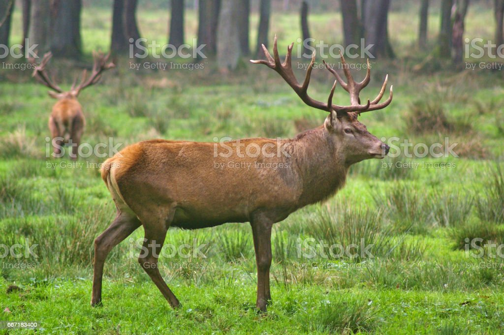 Red stag in the rut with rival in the background stock photo