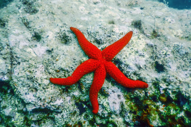 red starfish on the sea floor (echinaster sepositus) underwater - immerse in the stars foto e immagini stock
