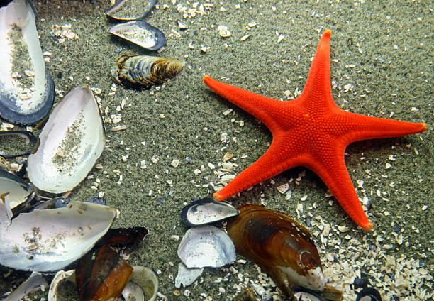 stella di mare rossa - immerse in the stars foto e immagini stock