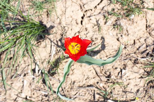 Red steppe tulip Schrenka spring day. Kalmykia