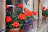 Red storksbill flowers in flower pots on a window sill