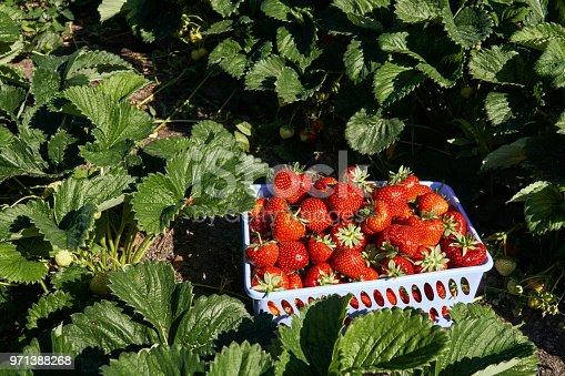Freshly picked strawberries in farm garden