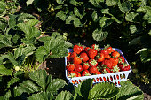 Red strawberries in a plastic container in a field