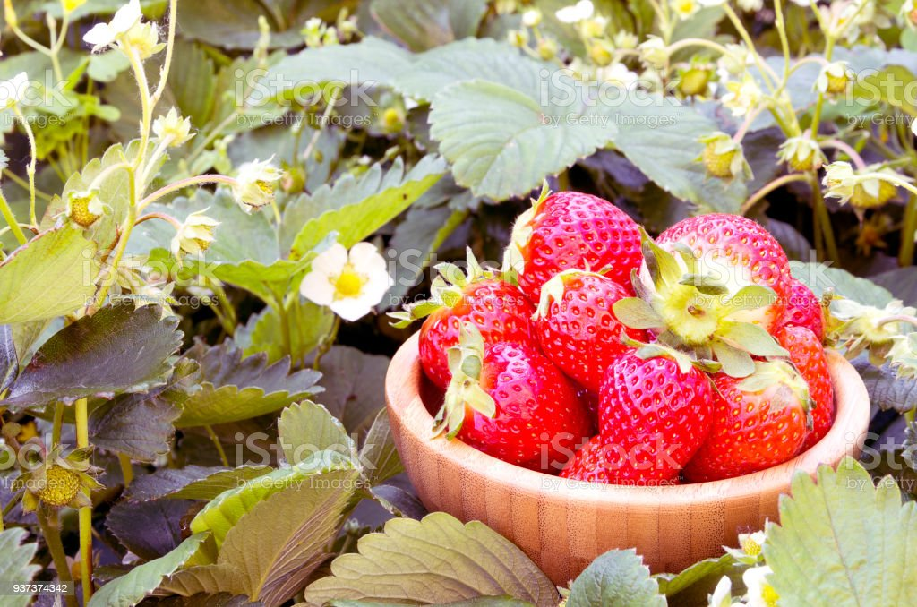 Red strawberries in a wooden box in a field - foto stock