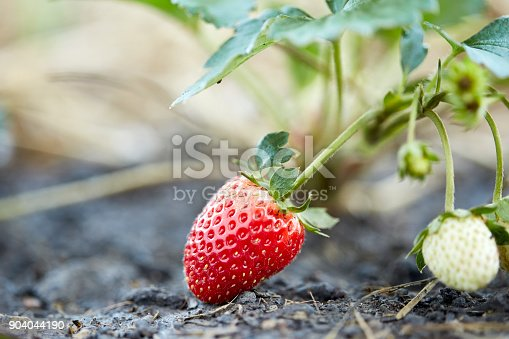 istock red strawberries in the garden 904044190
