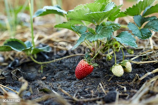 istock red strawberries in the garden 904727182