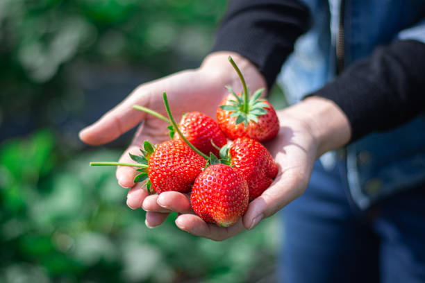 red strawberry in hand stock photo