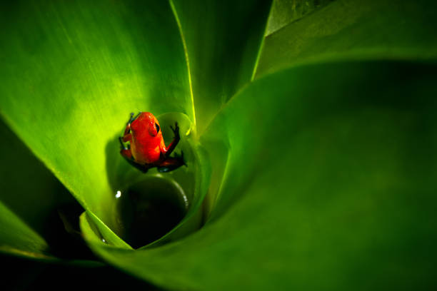 Red Strawberry poison dart frog, Dendrobates pumilio, in the bromelia. Costa Rica.Wildlife anima in the forest. stock photo