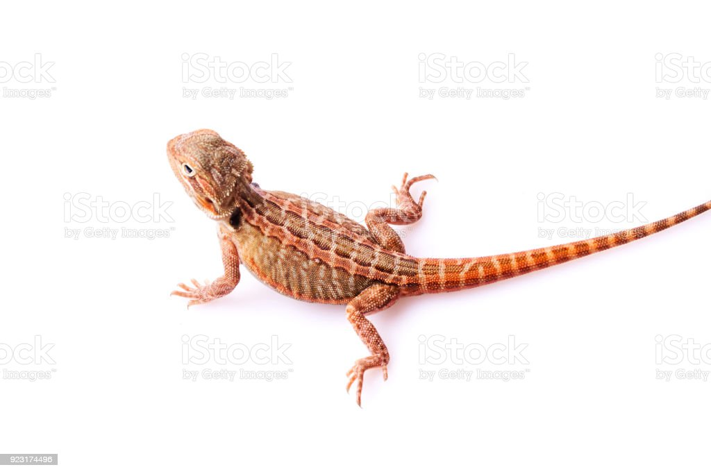 Red Stripe Baby Bearded Dragon Isolated White Background Stock Photo