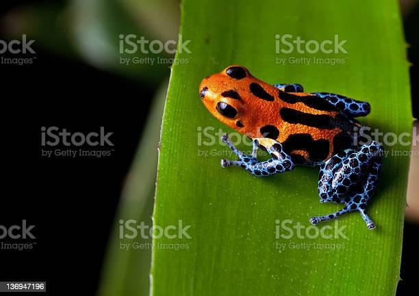 Red striped poison dart frog blue legs picture id136947196?b=1&k=6&m=136947196&s=612x612&h=ljspwcjrcpo7n minyuktw 62blzc2tgkj lv1twype=