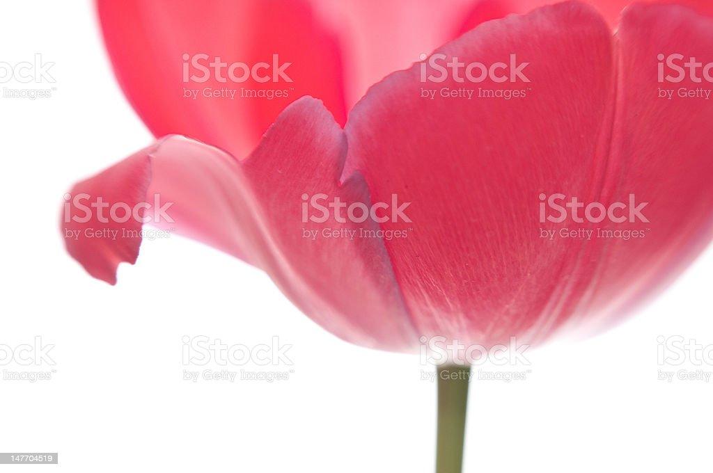 Red subtle tulip stock photo