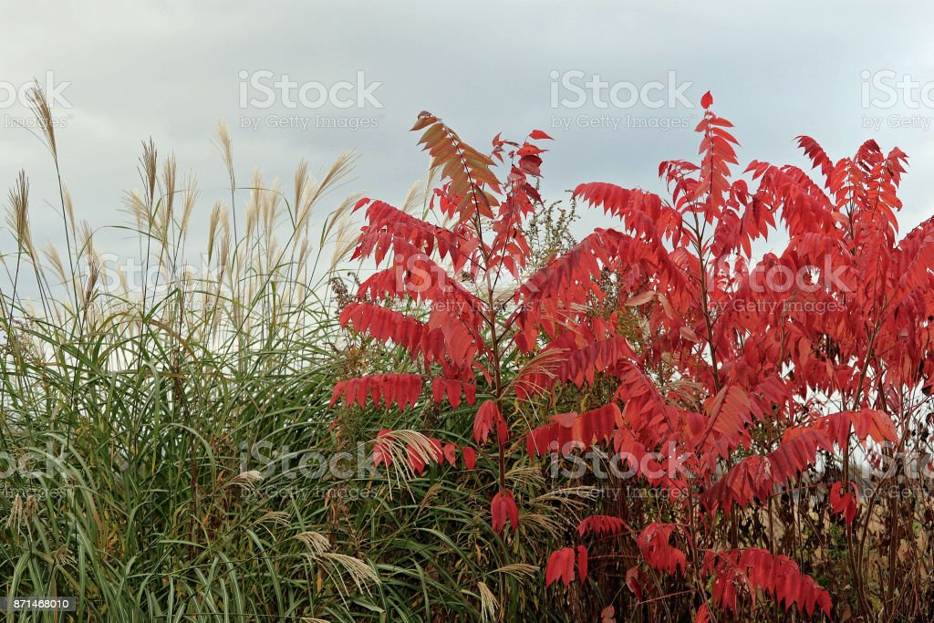 Red Sumac Leaves by Lake stock photo
