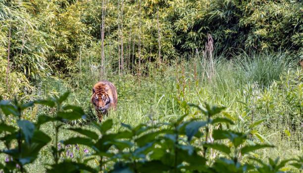 Red sumatran tiger in the green grass lawn picture id1064151658?b=1&k=6&m=1064151658&s=612x612&w=0&h=reljjxxw8u0zew1 wpxjfzyaqv4qehe9as0 rjttu5a=