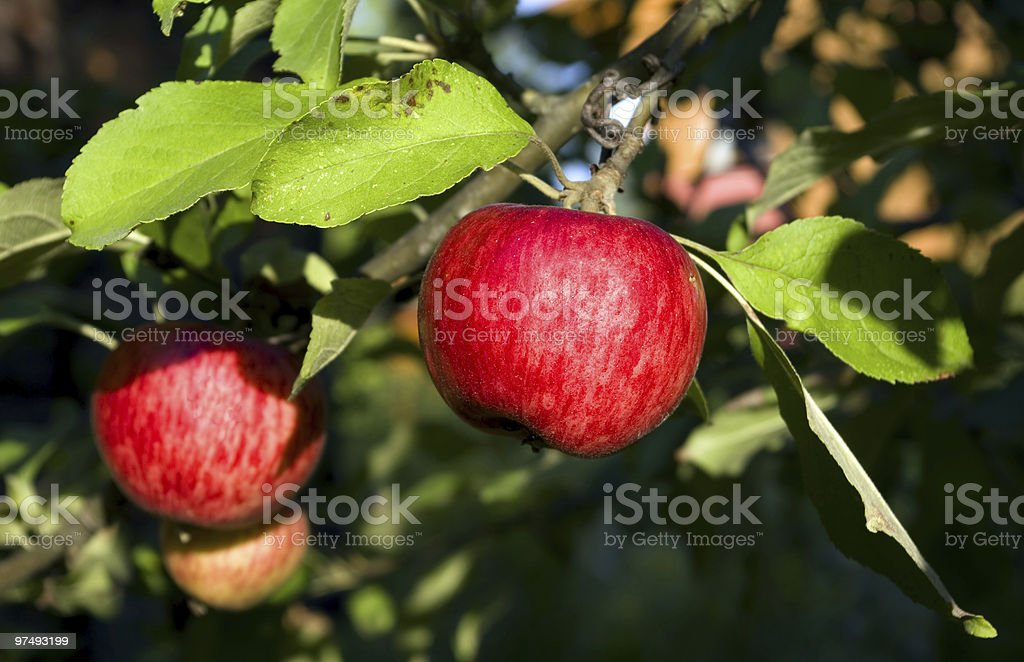 Red summer apple royalty-free stock photo